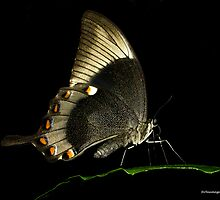Butterfly on black by barryforbes69