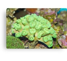 Beautiful coral Canvas Print