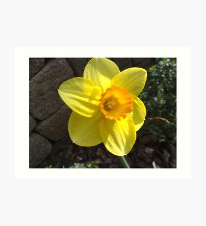 Tea cup Daffodil Art Print