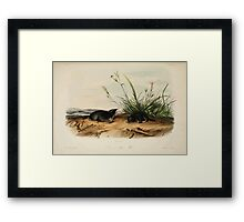 James Audubon - Quadrupeds of North America V2 1851-1854  Brewer's Shrew Mole Framed Print