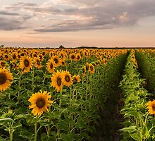 Sunflower Soldiers and A Colorado Rockies Storm by Gregory J Summers
