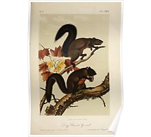 James Audubon - Quadrupeds of North America V1 1851-1854  Long Haired Squirrel Poster