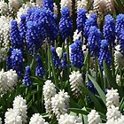 Purple and White by Caroline Smalley