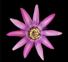 Passiflora Lavendar Lady by jojobob