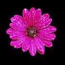 Purple Daisy After Rain by jojobob