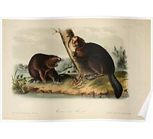 James Audubon - Quadrupeds of North America V1 1851-1854  American Beaver Poster