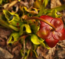 Dizzy Pitcher Plant by Richard G Witham