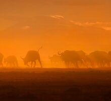 Buffalo in the dust, Amboseli National Park, Kenya, Africa. by photosecosse /barbara jones