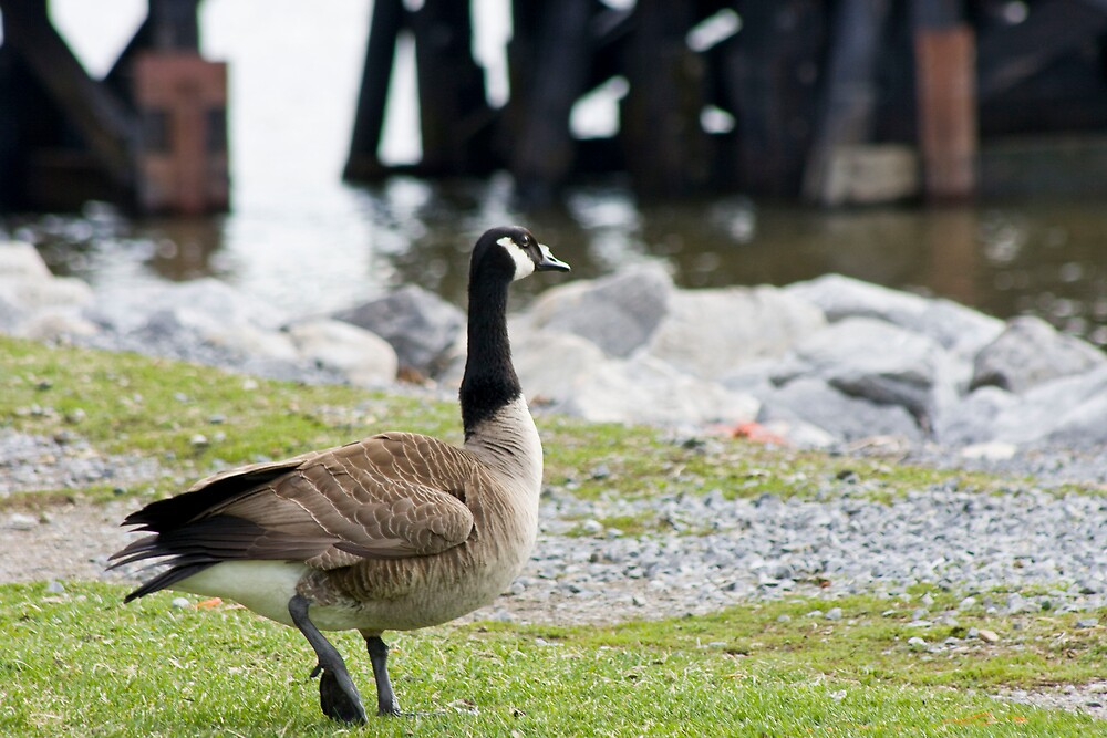 A Goose by Sam Brody