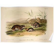 James Audubon - Quadrupeds of North America V3 1851-1854  Yellow Cheeked Meadow Mouse Poster