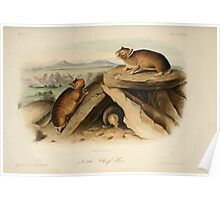 James Audubon - Quadrupeds of North America V2 1851-1854  Little Chief Hare Poster