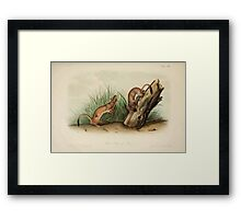 James Audubon - Quadrupeds of North America V2 1851-1854  White Weasel Stoat Framed Print