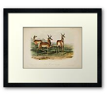 James Audubon - Quadrupeds of North America V2 1851-1854  Prong Horned Antelope Framed Print