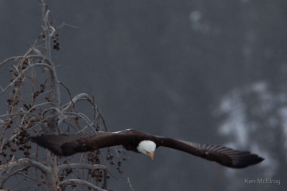 Bald Eagle Soars by Ken McElroy