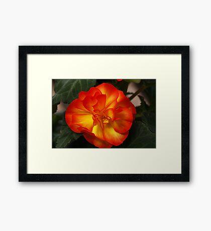 Orange Begonia Framed Print
