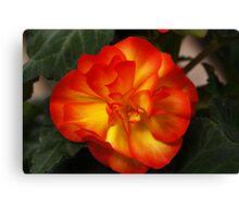 Orange Begonia Canvas Print