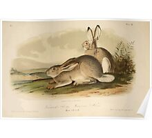 James Audubon - Quadrupeds of North America V1 1851-1854  Townsend's Rocky Mountain Hare Poster