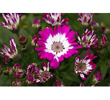 Pink Cineraria Photographic Print
