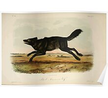 James Audubon - Quadrupeds of North America V2 1851-1854  Black American Wolf Poster