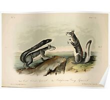James Audubon - Quadrupeds of North America V3 1851-1854  Col Albert's Squirrel, California Grey Squirrel Poster