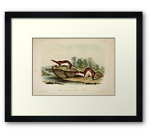 James Audubon - Quadrupeds of North America V2 1851-1854  Little American Brown Weasel Framed Print