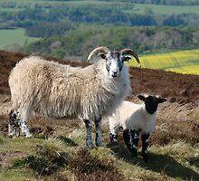 Scottish Sheep...... by DoreenPhillips