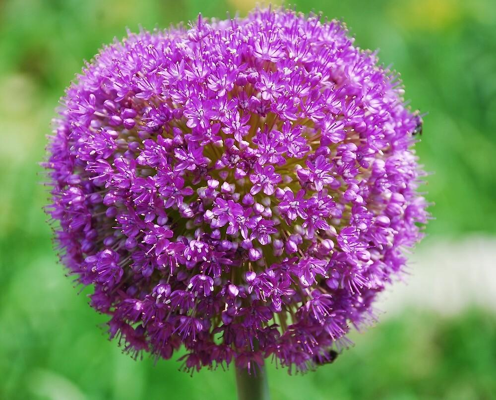 Allium Giganteum by jojobob