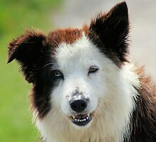 Well-trained Collie (Smooth)