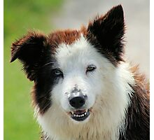 Well-trained Collie (Smooth) Photographic Print