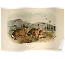 James Audubon - Quadrupeds of North America V3 1851-1854  Bachman's Hare Poster