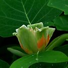 The Floral Enigma - Solved - Tulip Poplar by Lolabud