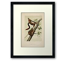James Audubon - Quadrupeds of North America V2 1851-1854  Orange Bellied Squirrel Framed Print