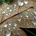Dew Drops on an oak leaf by Photodx