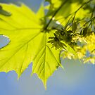 Spring leaves by narabia