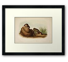 James Audubon - Quadrupeds of North America V2 1851-1854  Liconte's Pine Mouse Framed Print