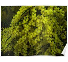 """""""Fringed Wattle"""" Poster"""