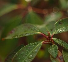 Neversink Mountain Laurel by mseigafuse