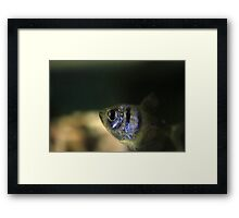 Black Widow Tetra Framed Print