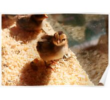 Inquisitive Chick Poster