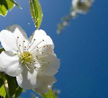 Cherry Blossom by BCasTal