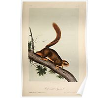 James Audubon - Quadrupeds of North America V2 1851-1854  Red Tailed Squirrel Poster