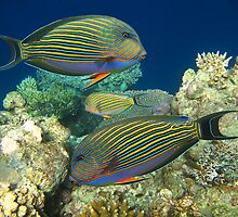 BLUE LINED SURGEONFISH - BALI by Michael Sheridan