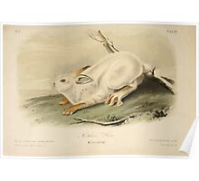 James Audubon - Quadrupeds of North America V1 1851-1854  Northern Hare Winter Pelage Poster