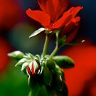 Red Geranium by Pamela Hubbard