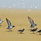 Sandpipers by hatterasjack