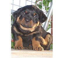 A Little Tickle - Rottweiler Puppy Photographic Print
