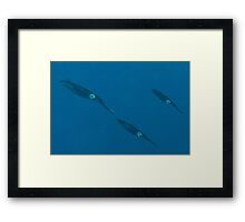 Bigfin Reef Squid Framed Print