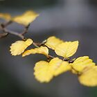 Nothofagus gunii (Fagus) by michellerena