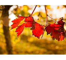 Autumn in the Vineyard Photographic Print