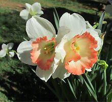 Twin Daffodils ~ by Ginny York